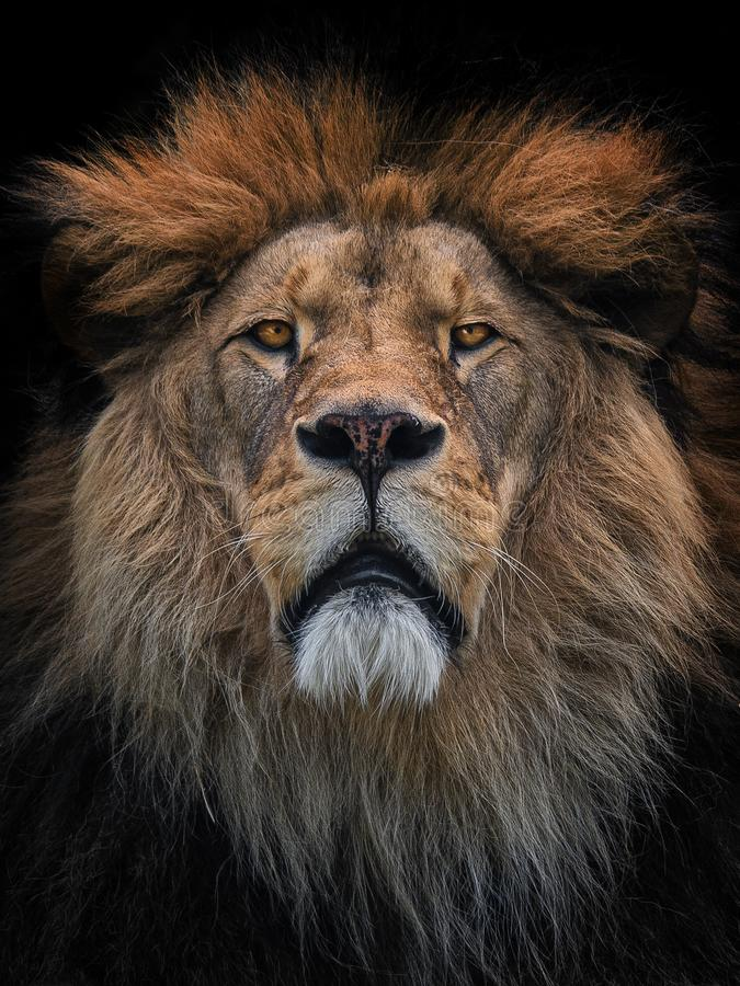 Lion Berber stock photo