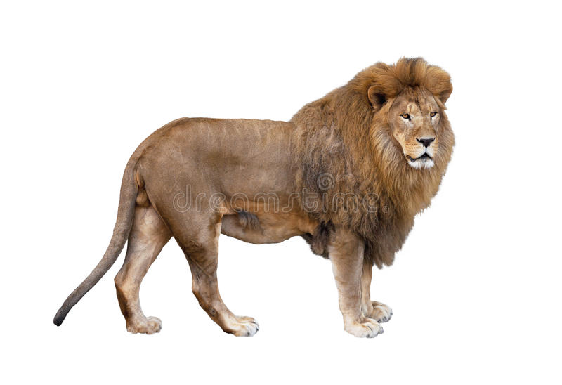 Lion. Big beautiful African lion on a white background royalty free stock photo
