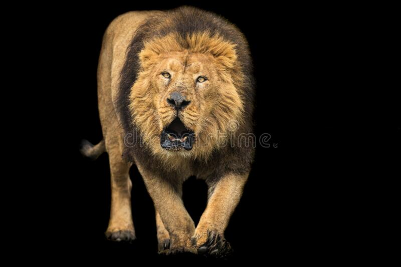 7 716 Lion Black Background Photos Free Royalty Free Stock Photos From Dreamstime
