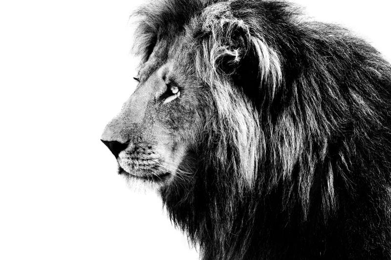 Download Lion, black and white stock image. Image of portrait - 49581935