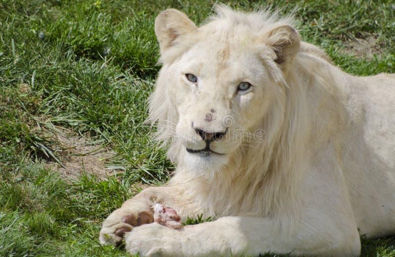 Lion blanc photo stock