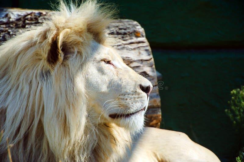 Lion blanc de l'Afrique photo stock