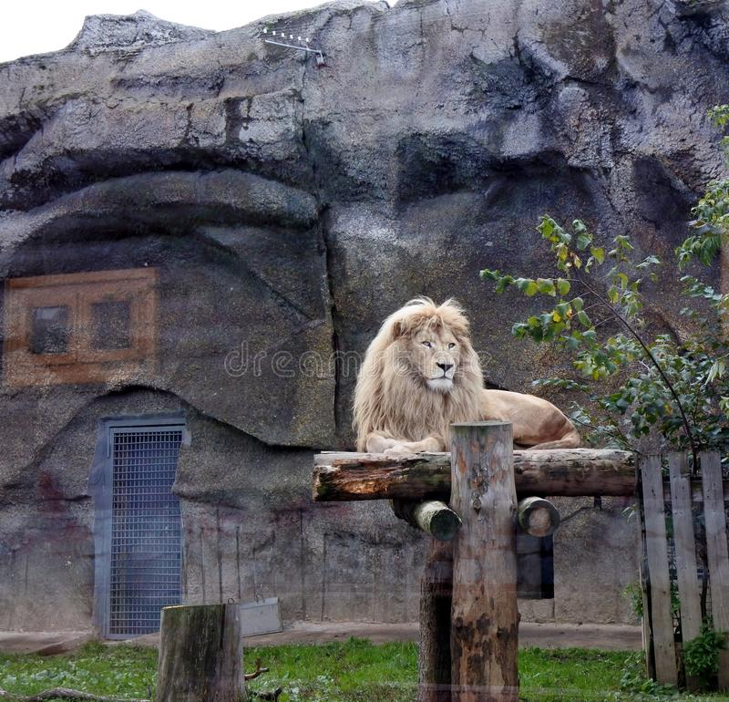 Lion blanc masculin se couchant photo stock