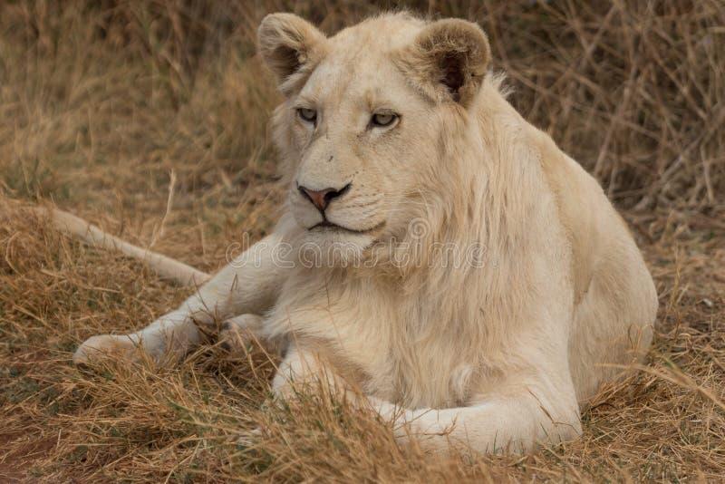 Lion blanc se trouvant sur l'herbe photo libre de droits