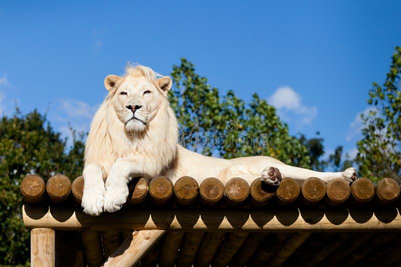 Lion blanc se trouvant sur la plate-forme en bois au soleil images libres de droits