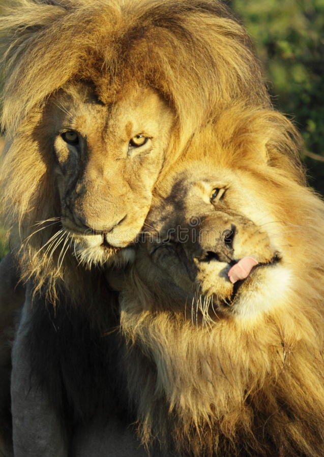 Lion brothers stock photo