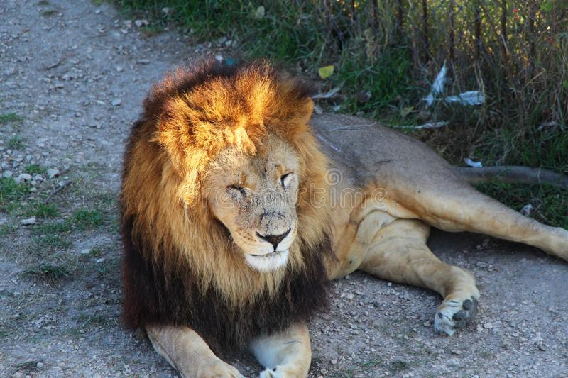 Lion with a brown-golden mane royalty free stock photo