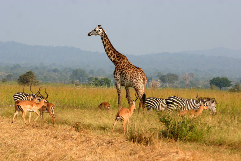 Download Lion Buffet stock image. Image of neck, herd, plain, brown - 4173