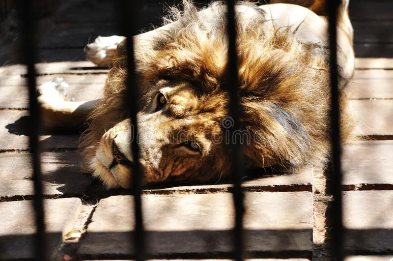 Download A lion in the cage stock image. Image of might, hidden - 14276785
