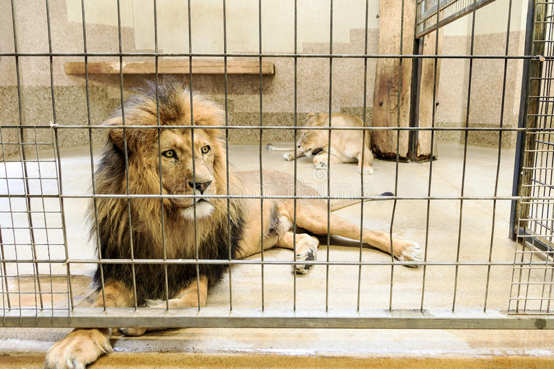 Lion in captivity. Beautiful lion (panthera leo) in a cage in captivity stock images