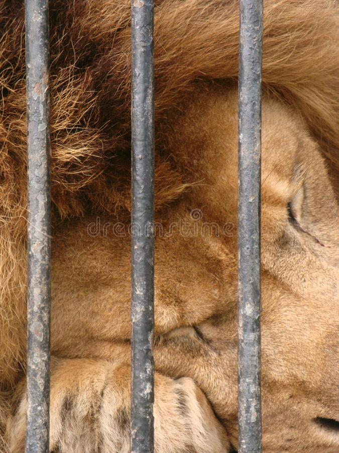 The lion in captivity in the zoo is behind bars. Power in a cage. Close-up. The lion in captivity in the zoo is behind bars. Close-up royalty free stock photos