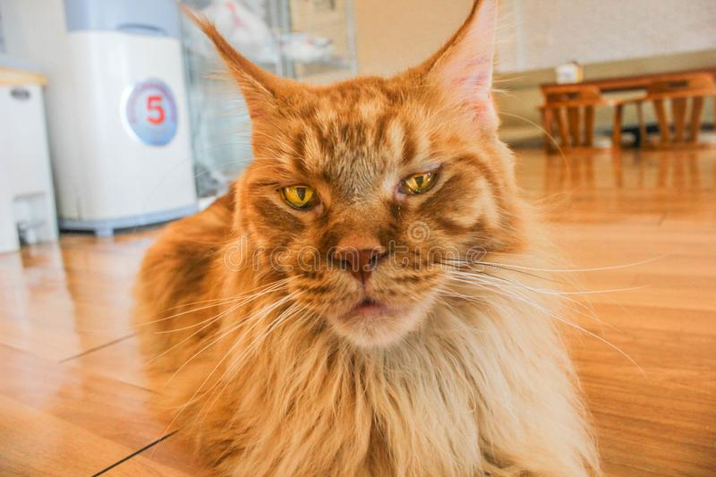 The Lion Cat on the floor stock photography