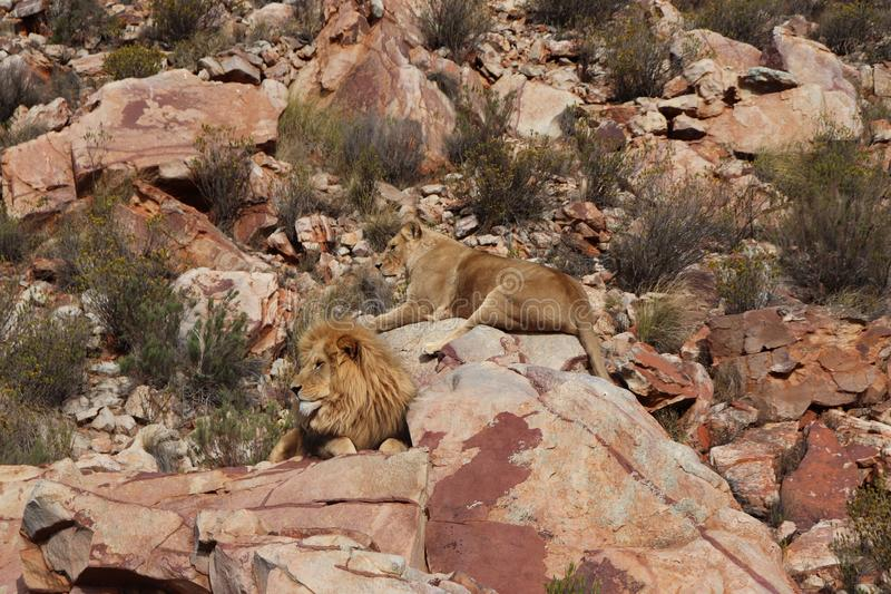 The lion is Africa`s largest terrestrial predator stock photos