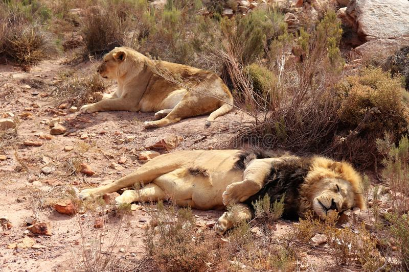 The lion is Africa`s largest terrestrial predator royalty free stock photography