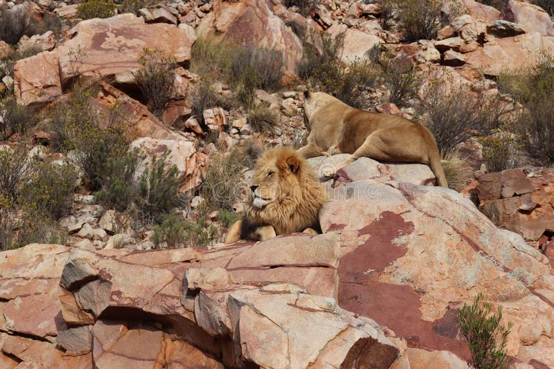 The lion is Africa`s largest terrestrial predator royalty free stock images