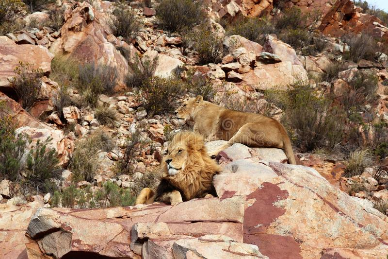 The lion is Africa`s largest terrestrial predator royalty free stock image