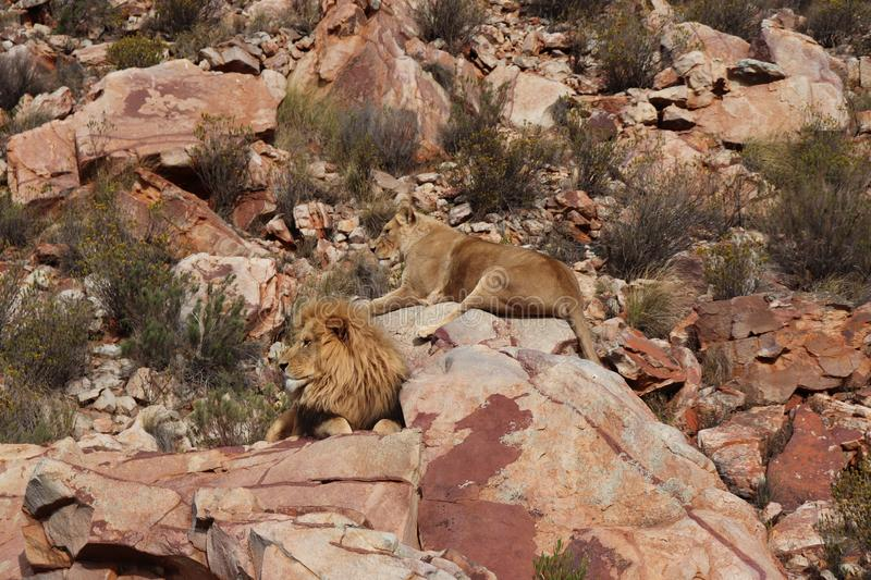 The lion is Africa`s largest terrestrial predator stock photo