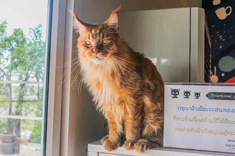 The Lion Cat on the Self royalty free stock images