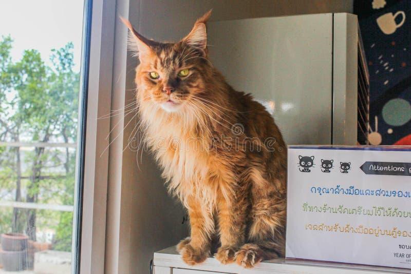 Lion Cat sull'auto immagini stock libere da diritti