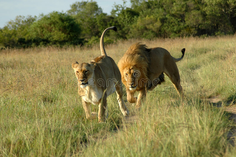Lion chasing lioness royalty free stock photo