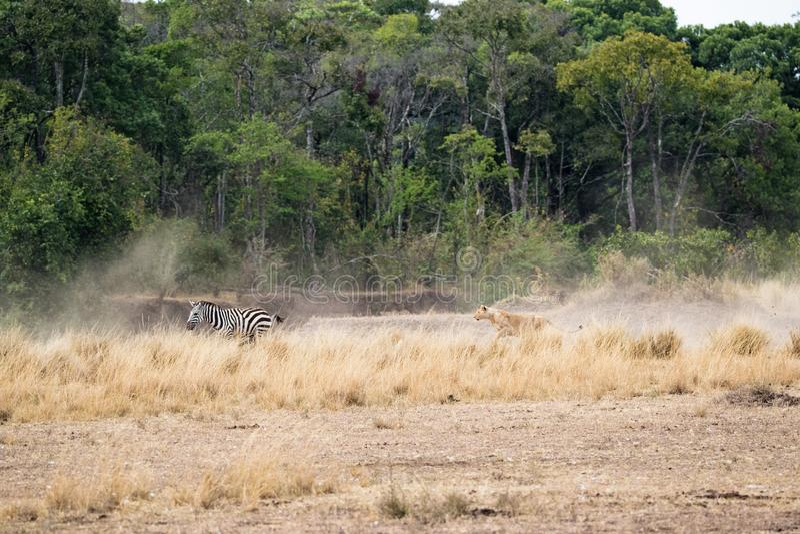 Lion Chasing After Zebra in Kenia Afrika royalty-vrije stock foto