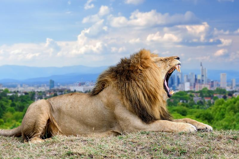 Lion with the city of on the background. Panoramic view from a lonely lion with the city of on the background royalty free stock photos