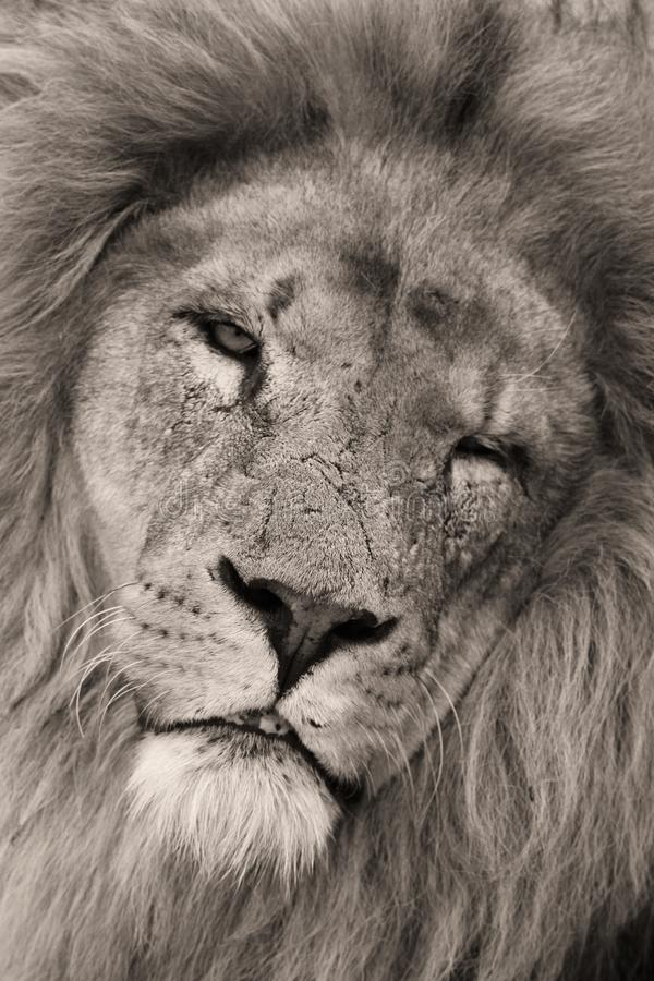Lion. Close up of lion in black and white. Scarred face. old man stock photos