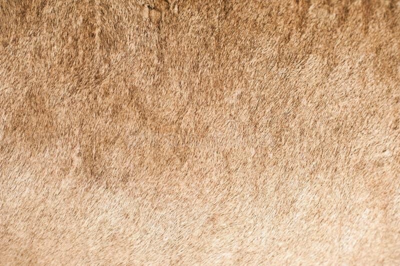 Download Lion Coat Closeup stock photo. Image of horizontal, background - 27002594