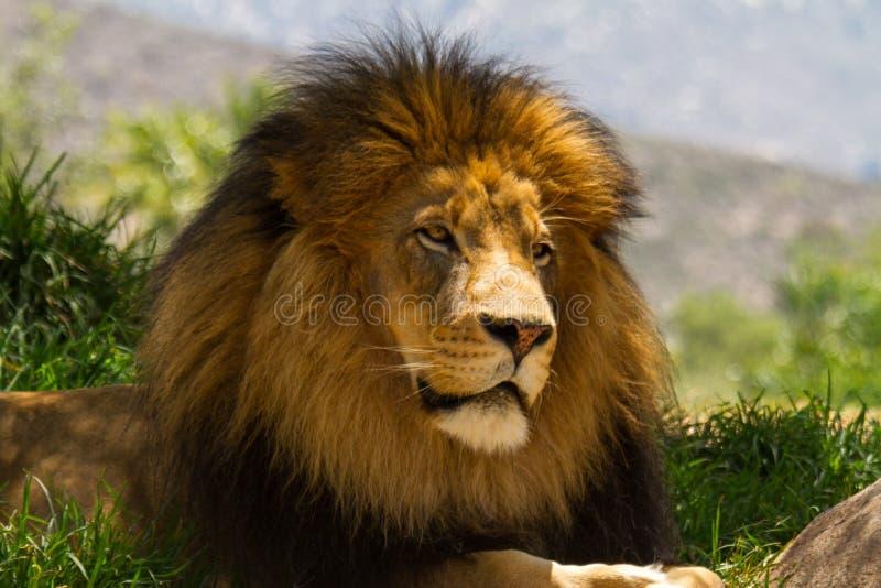Lion Considers Life na máscara fotos de stock