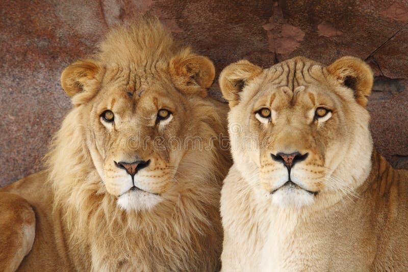 Lion Couple Royalty Free Stock Photos