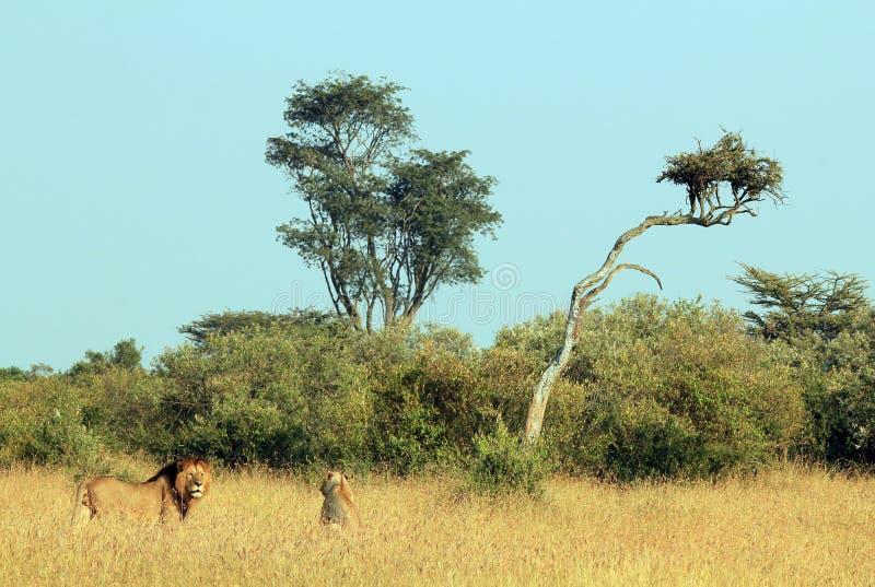 Lion Couple dans l'herbe image stock