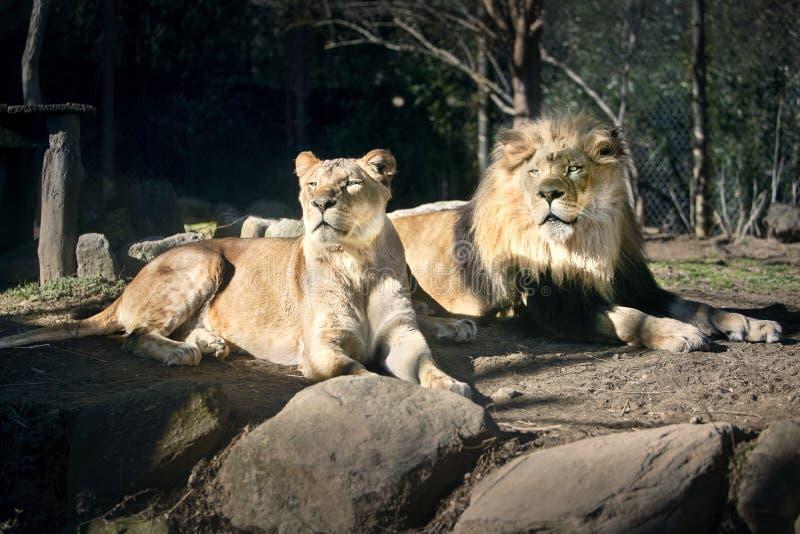 Lion Couple en el Sun - Sunny Day - el tomar el sol foto de archivo