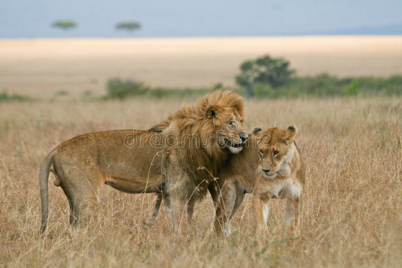 Lion couple on honeymoon stock image