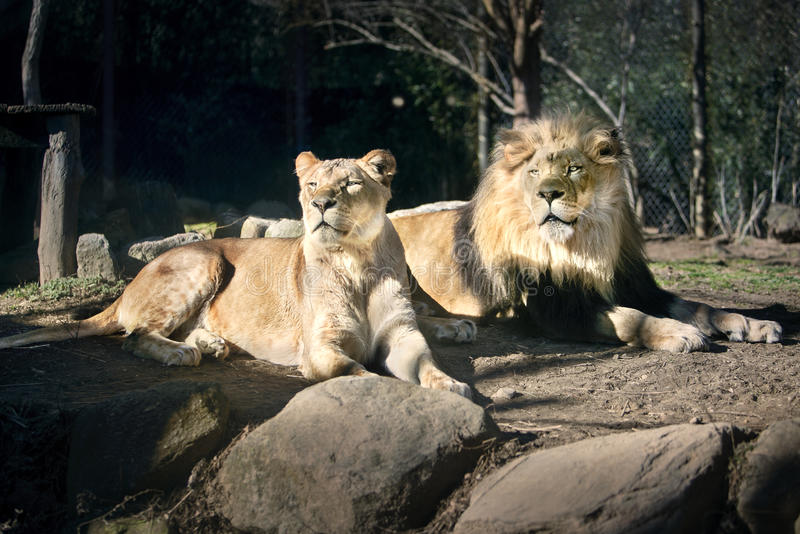 Lion Couple i solen - Sunny Day - solbada arkivfoto