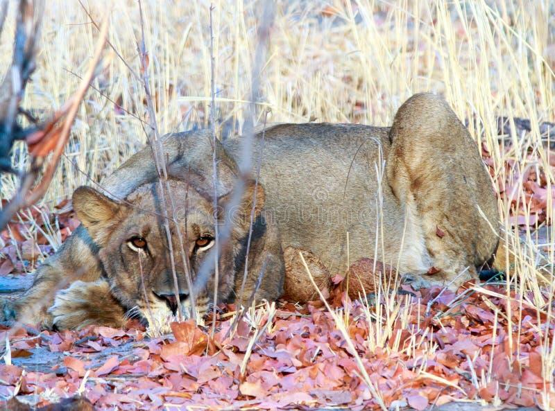 Lion Crouching ao olhar fixamente através da grama seca fotos de stock royalty free