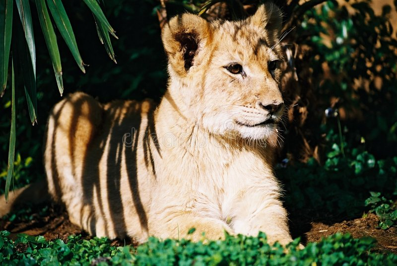 Lion Cub 01 Royalty Free Stock Images