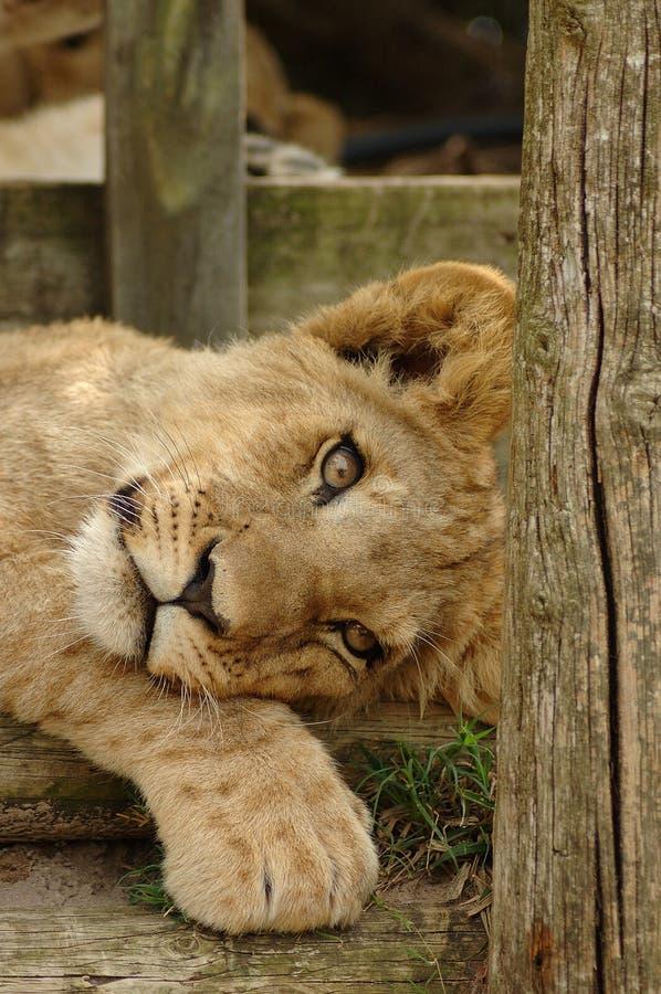 Lion Cub Stock Photography