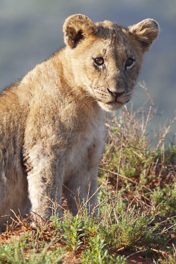 Free Lion Cub Royalty Free Stock Image - 11752436