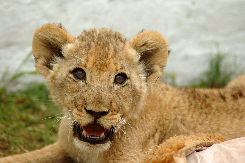 Download Lion cub stock photo. Image of king, game, lazy, inactive - 1450054