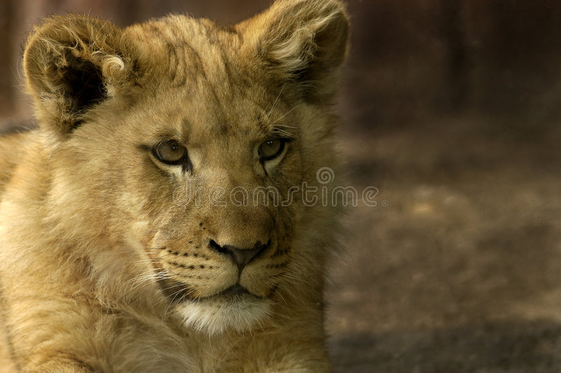 Download Lion cub stock image. Image of cute, panthera, critter - 158135