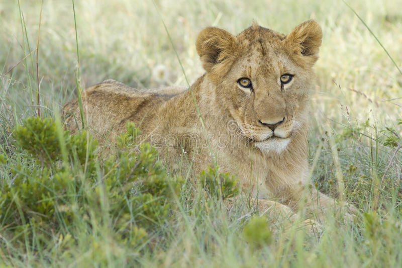 Download Lion cub stock photo. Image of dangerous, pride, animals - 18444400
