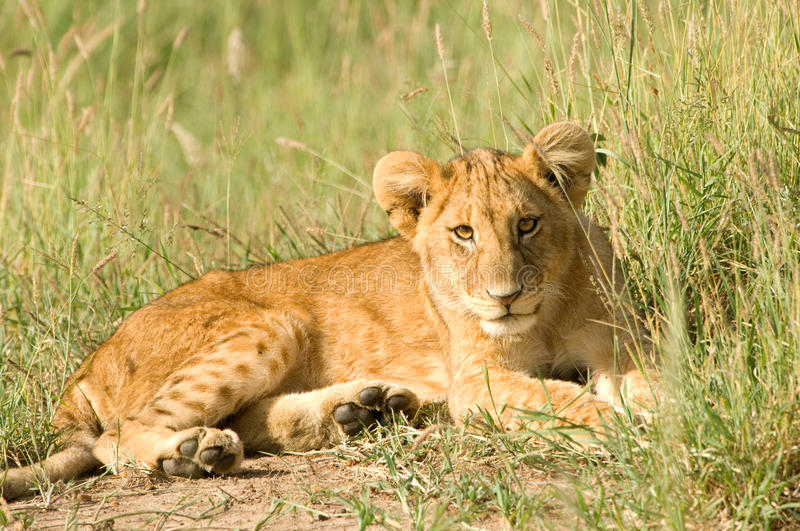 Download Lion cub stock image. Image of roar, africa, nature, outdoor - 20215971