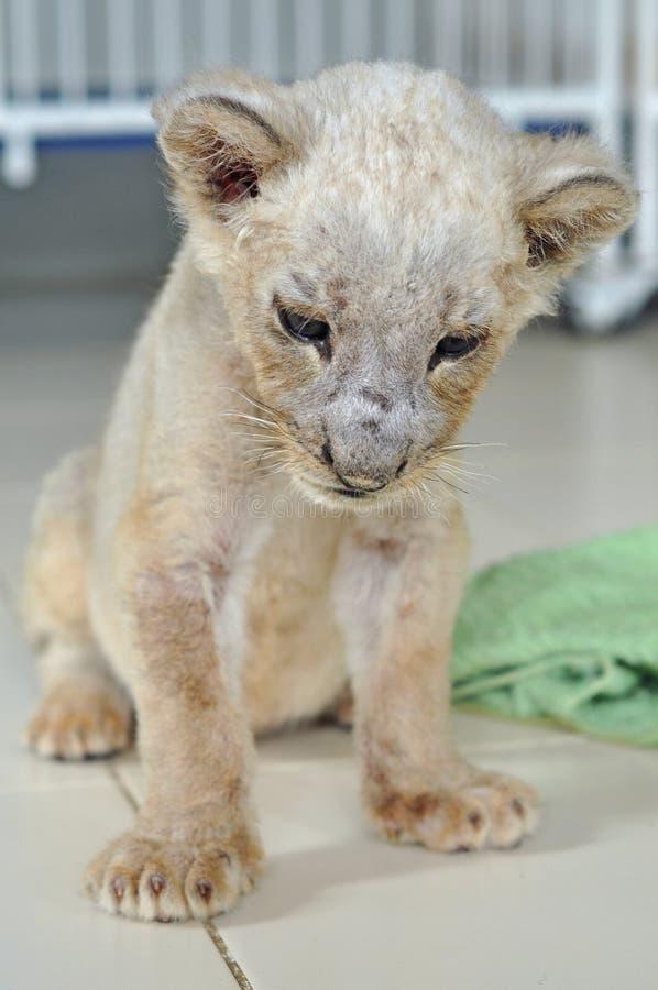 Free Lion Cub Stock Image - 21090711
