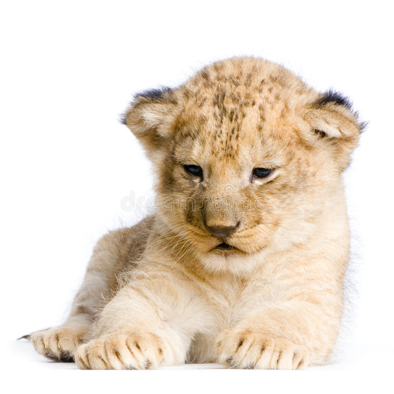Download Lion Cub Royalty Free Stock Photography - Image: 2320707