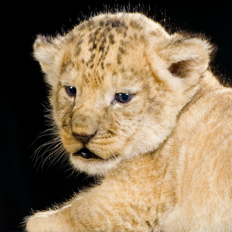 Download Lion Cub Stock Photography - Image: 2320772
