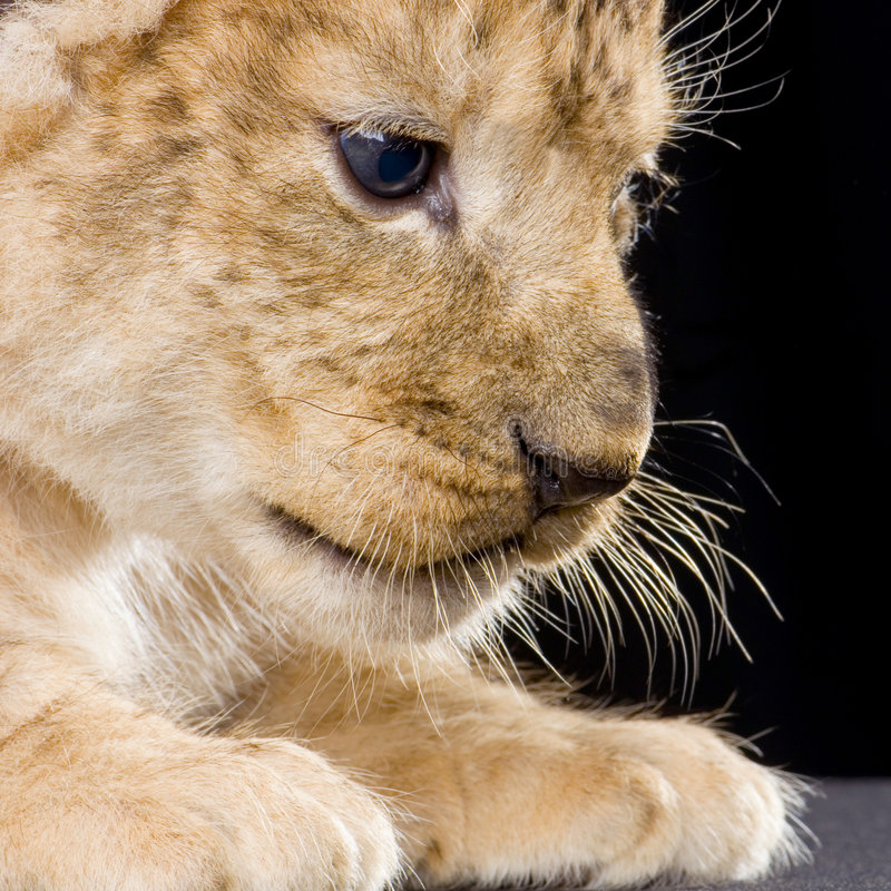 Download Lion Cub Stock Photography - Image: 2320822