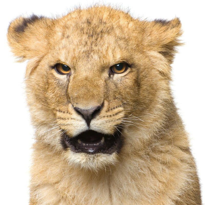 Download Lion Cub Royalty Free Stock Photo - Image: 2321385