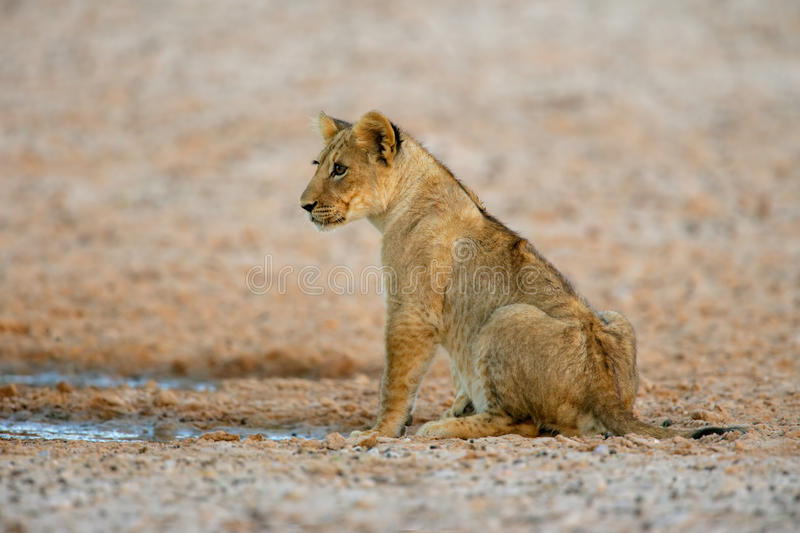 Download Lion Cub Stock Photography - Image: 25198332