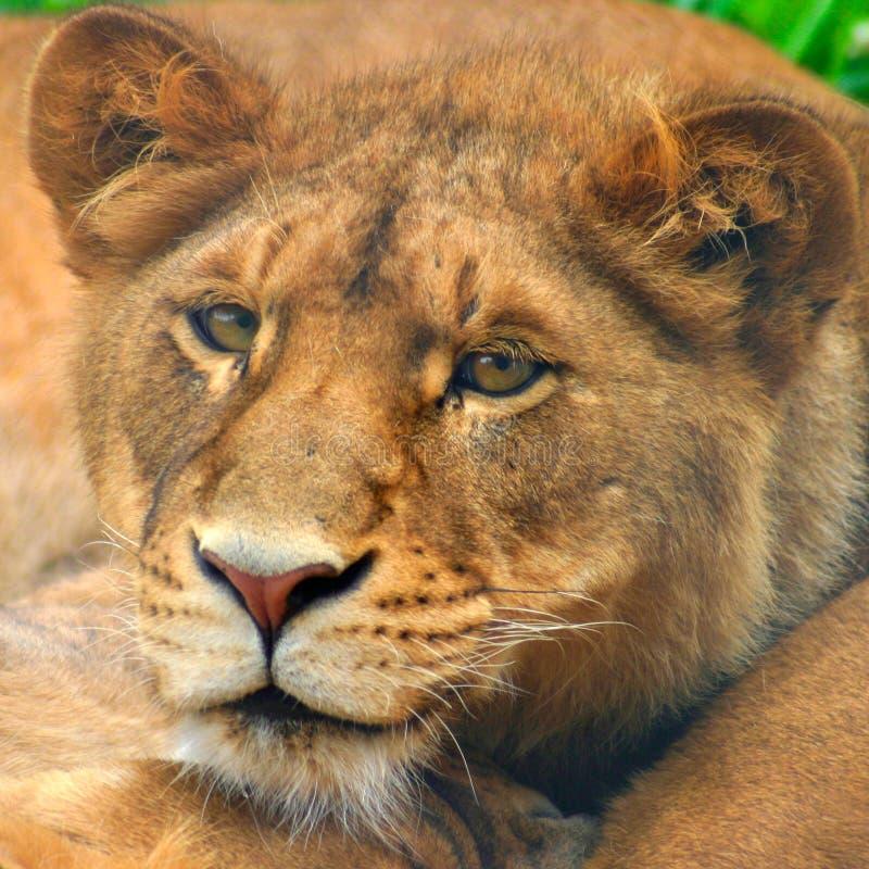 Lion Cub stock photo