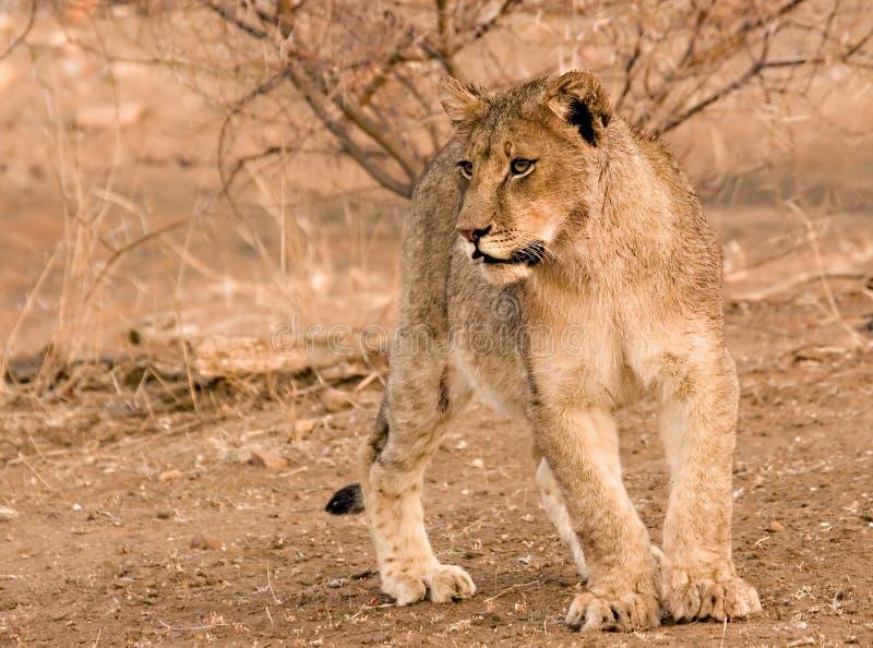Download Lion Cub stock photo. Image of tuli, feline, vision, glance - 3101244